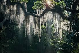spanish moss night